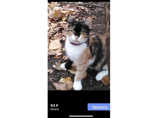 Трехцветная кошка в доме - все приметы и суеверия