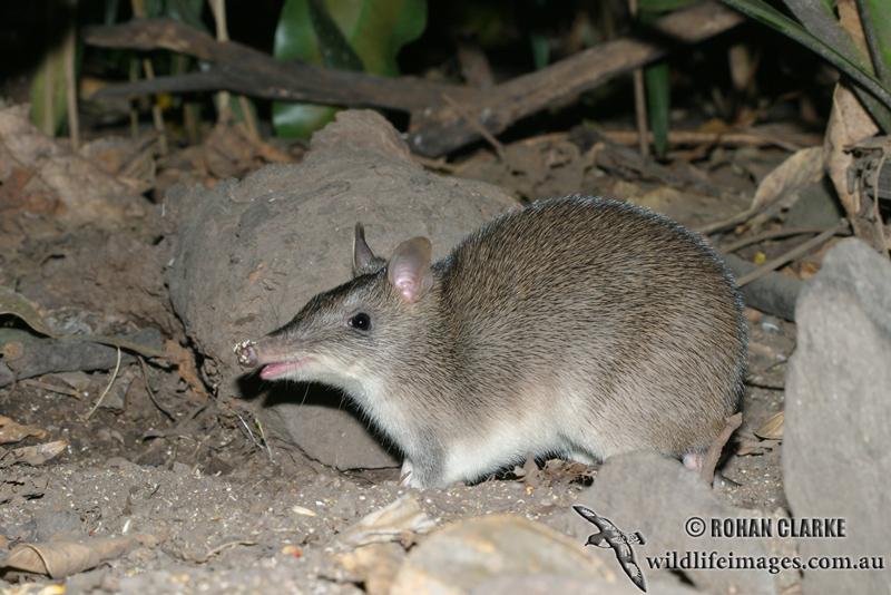 Сумчатые (marsupialia), занесённые в красную книгу мсоп