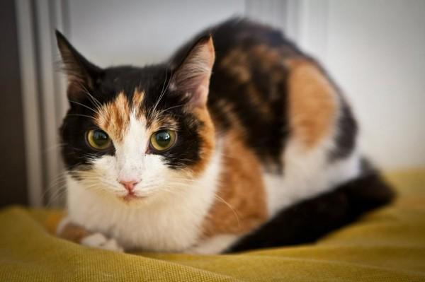 Почему в дом приходит трехцветная кошка, основные приметы