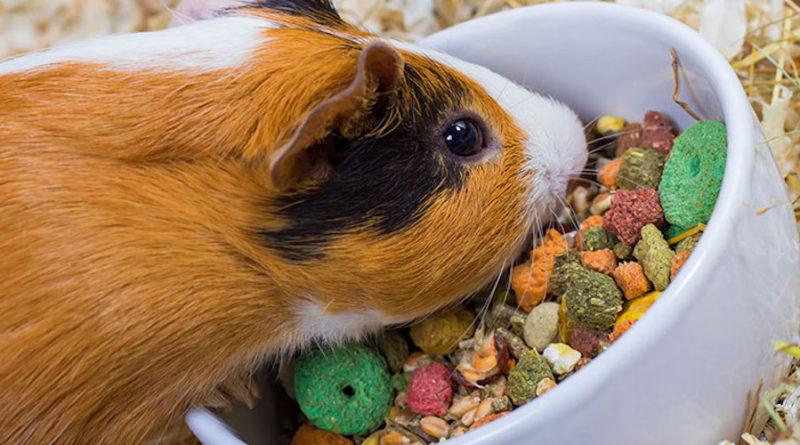 """Болезни морских свинок: симптомы и лечение   блог ветклиники """"беланта"""""""