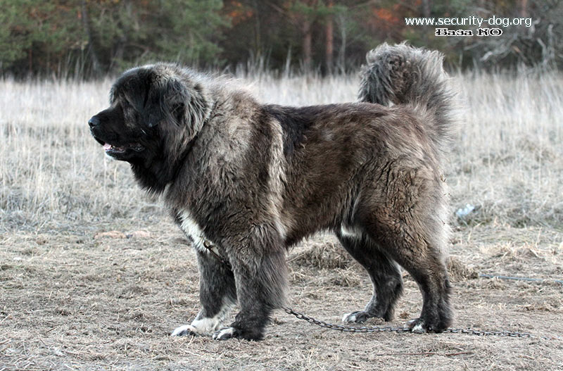 Кавказская овчарка: характеристика породы, описание и фото