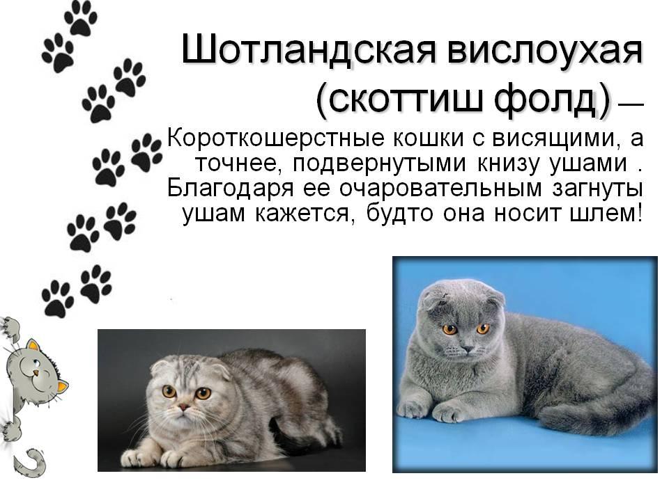 Британская вислоухая кошка - фото, описание породы, характер