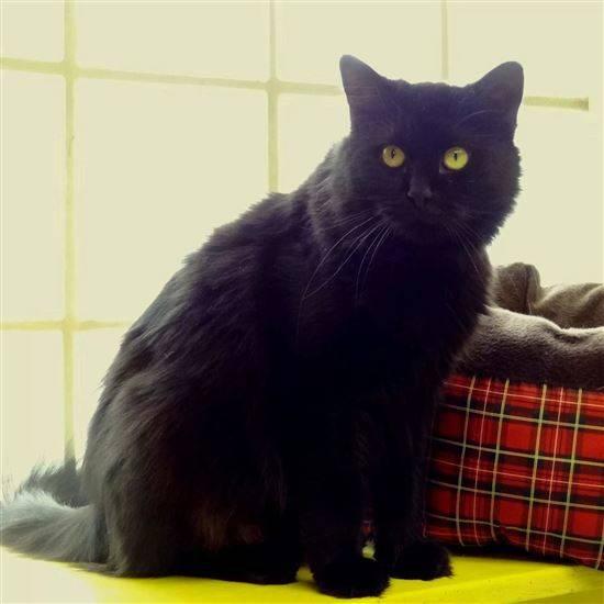 Порода кошек-шантильи тиффани, 25 фото и цена котенка.
