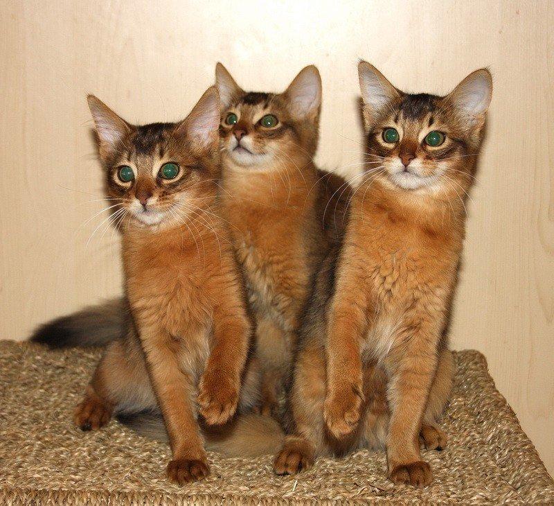 Кимрик: описание породы, фото кошки, цена, стандарты, плюсы и минусы содержания