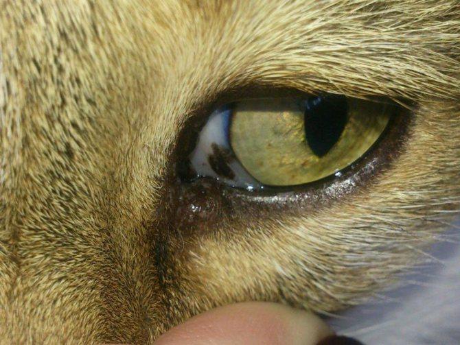 У кошки кровь в глазу — причины и лечение