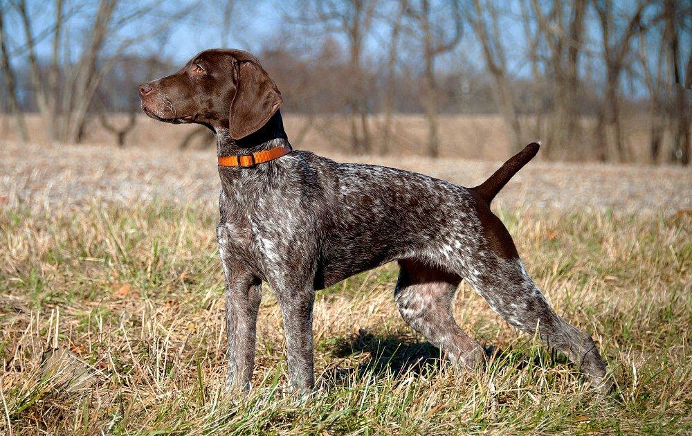 Порода собак курцхаар: описание, характер, цена
