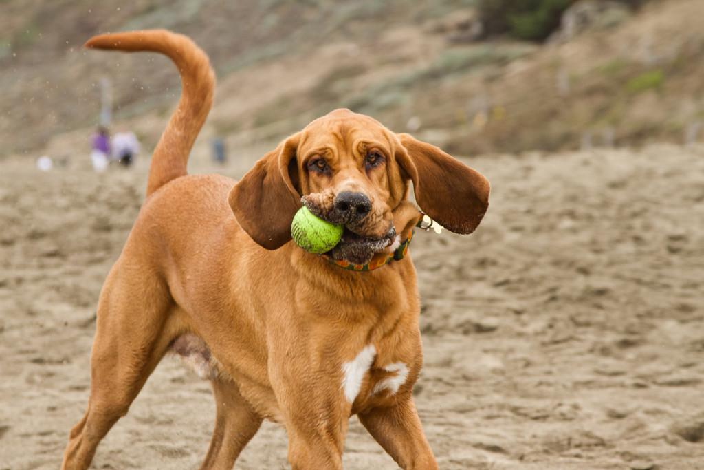 Бладхаунд — фото, описание породы собак, особенности характера
