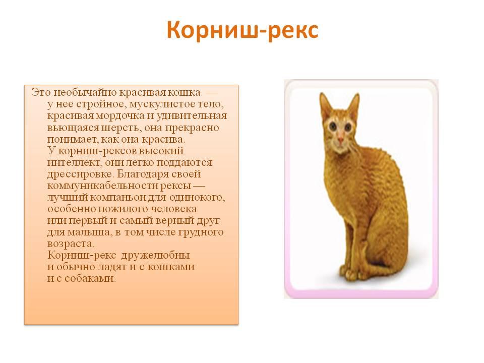Девон-рекс: подробный обзор породы кошек, фото, интересные факты, рекомендации по содержанию и уходу в домашних условиях