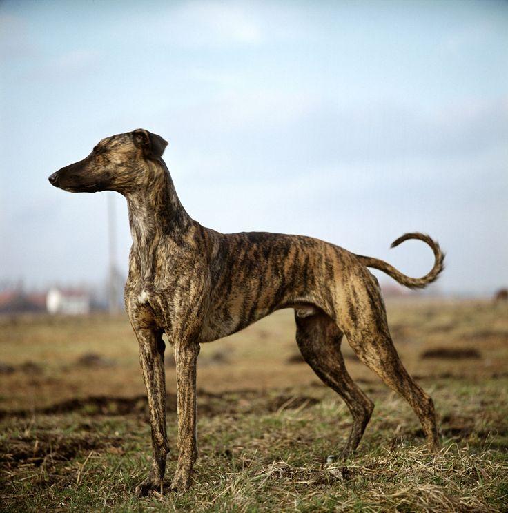 Кенгуровая собака — непризнанный представитель собачьего мира австралии