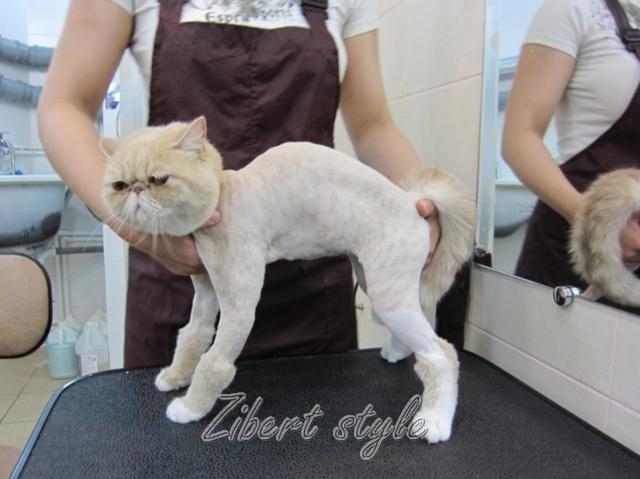 Особенности груминга британских кошек. можно ли стричь британскую кошку | milord