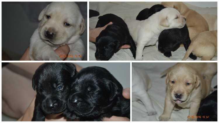 Черный лабрадор (43 фото): характер взрослых собак и щенков, клички для девочек и мальчиков черного цвета, питание и описание породы