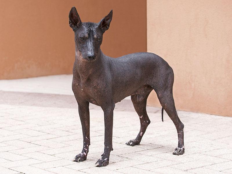 Порода перуанская голая собака и ее характеристики с фото