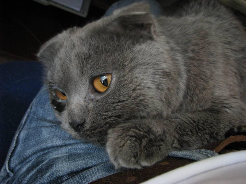 Атрезия ануса у котенка - симптомы, диагностика, лечение