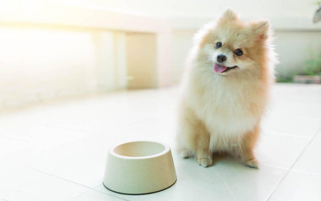 Чем кормить щенка шпица: в 1, 2, 3, 6 месяцев, натуральное питание или готовые корма, витамины, добавки, список запрещенных продуктов