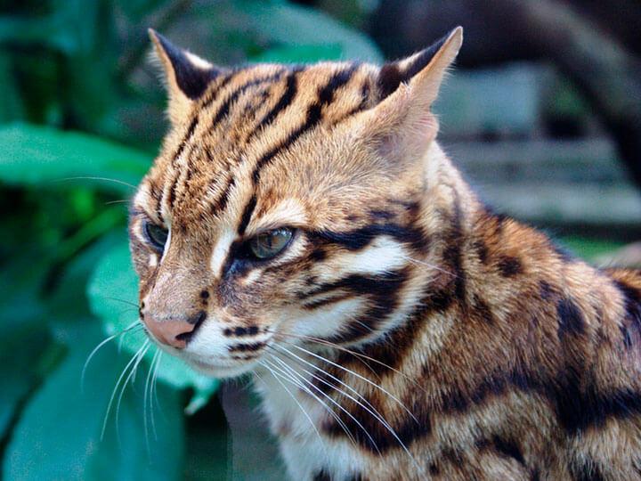 Кошка бенгальской породы (мини леопард) - содержание, хакрактер