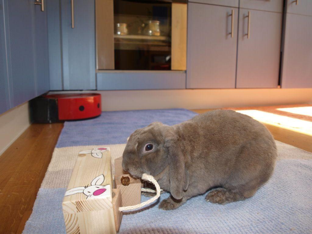 Уход за декоративным кроликом в домашних условиях: правила содержания животных