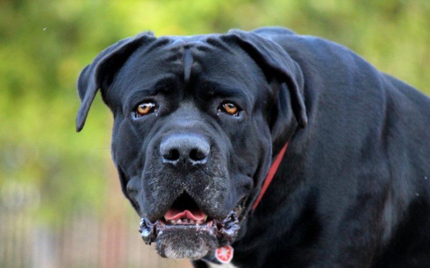 Кане корсо собака. описание, особенности, уход и цена кане корсо | sobakagav.ru