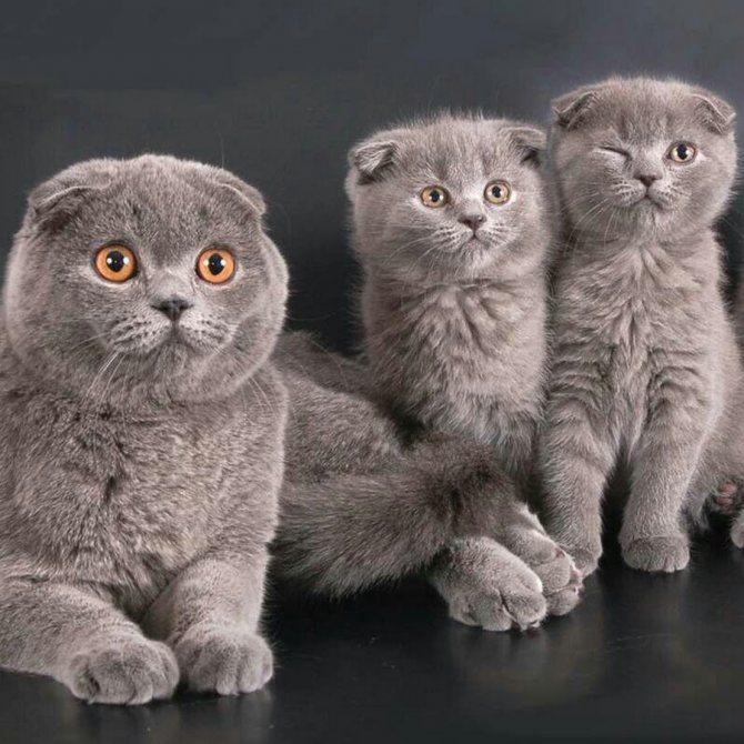 Британский кот вислоухий и короткошерстный: уход и питание, характер