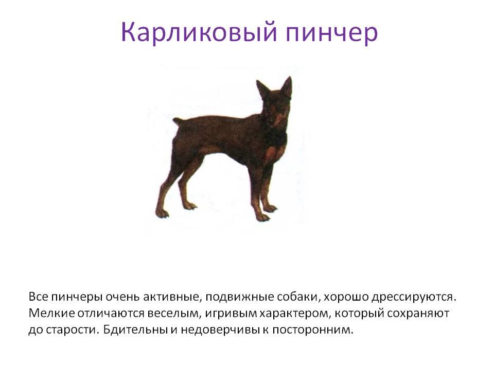 Цвергпинчер - описание породы, отзывы владельцев