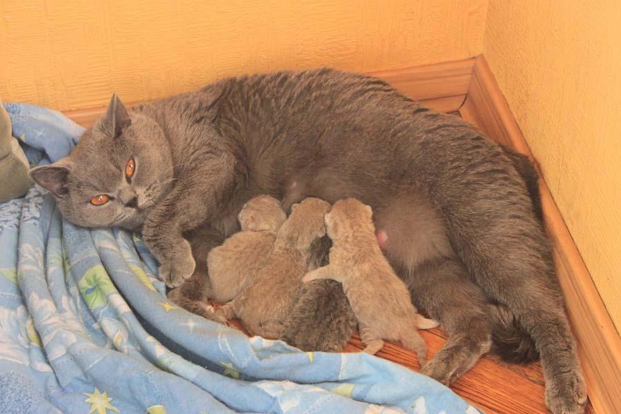 Сколько котят рожает кошка в первый раз?