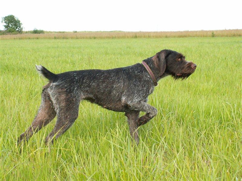 Порода собак дратхаар вес