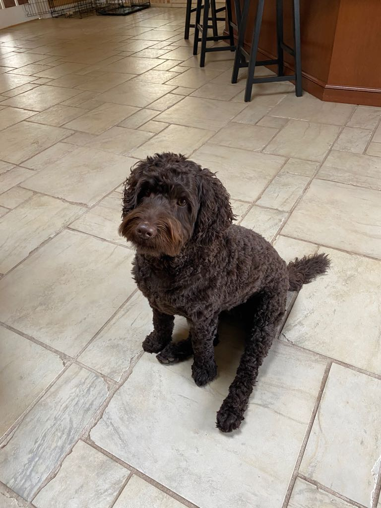 Лабрадудель собака. описание, особенности, виды, уход и цена породы лабрадудель   животный мир