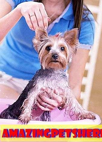 Как купать йоркширского терьера: всё, что нужно знать хозяину собаки