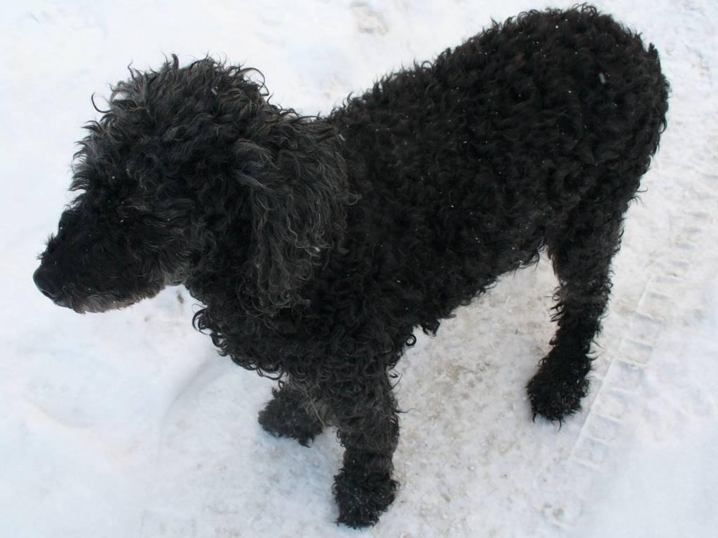 Все породы собак с кучерявой шерстью
