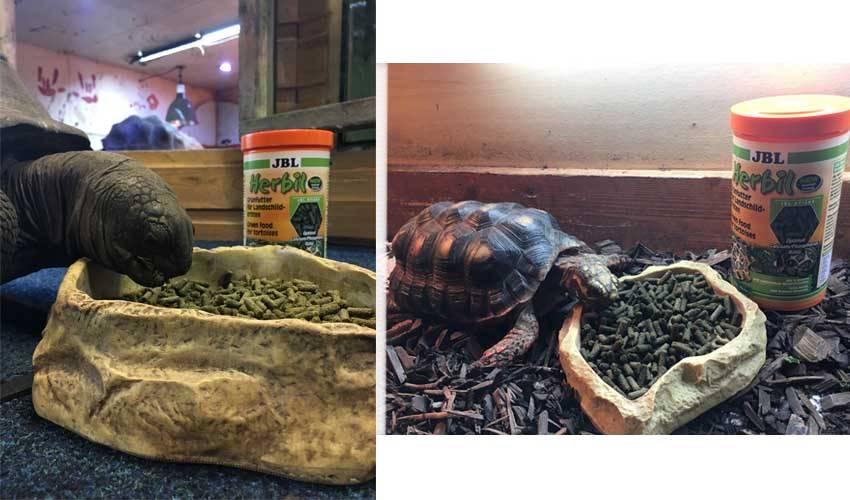 Как часто нужно кормить черепах? чем опасен перекорм? правильная еда для черепах