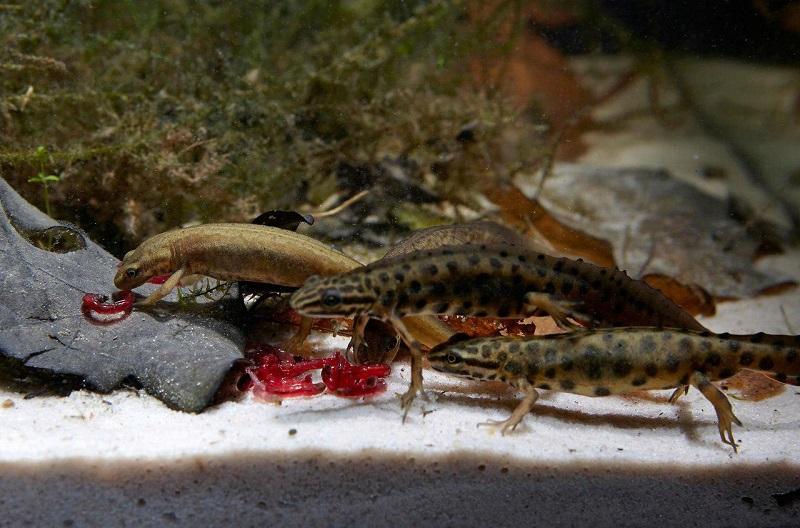 Тритон: животное для аквариума и террариума