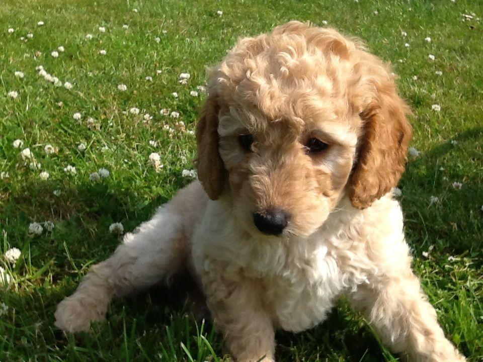 Лабрадудель новая порода собак. описание, особенности, характер и цена породы   живность.ру