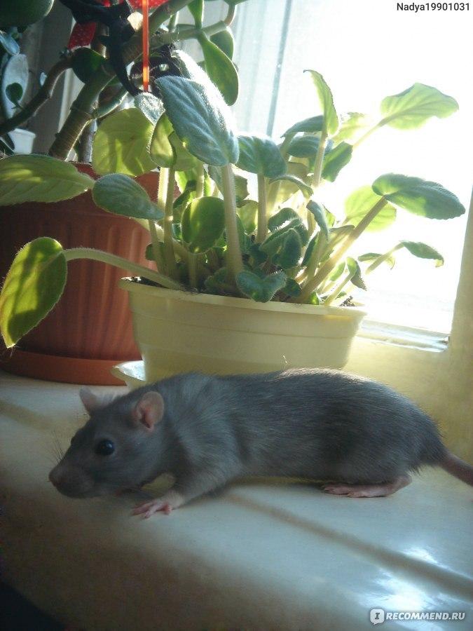 Все о декоративных крысах дамбо: сколько живут, как за ними ухаживать и содержать
