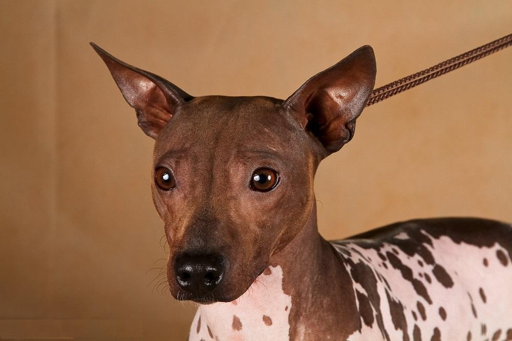 Одна из самых многочисленных и популярных групп собак – терьеры