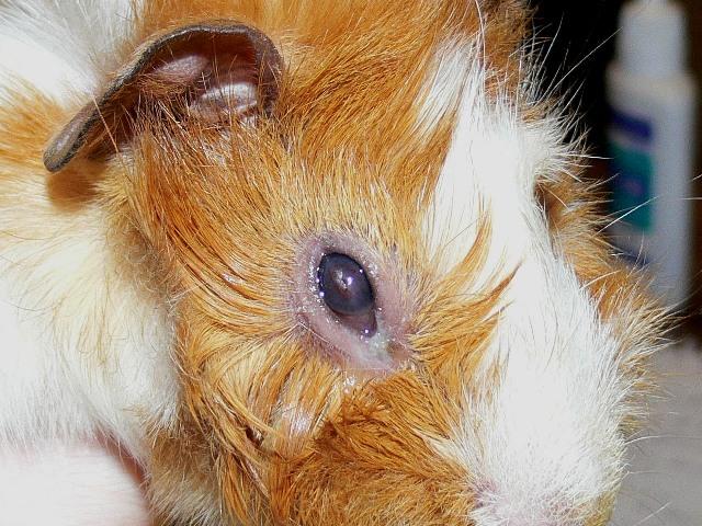 Паралич и чума морских свинок: симптомы, диагностика, лечение | zoodom