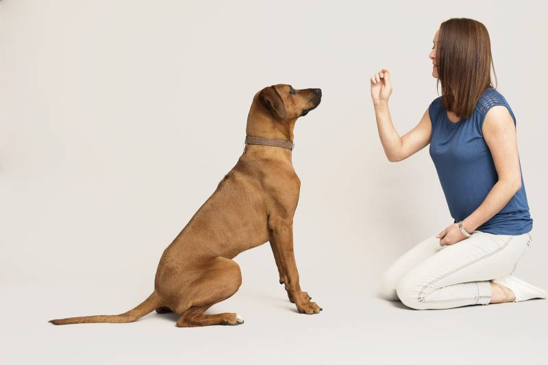 """Как научить собаку выдержке (команда """"ждать"""")"""