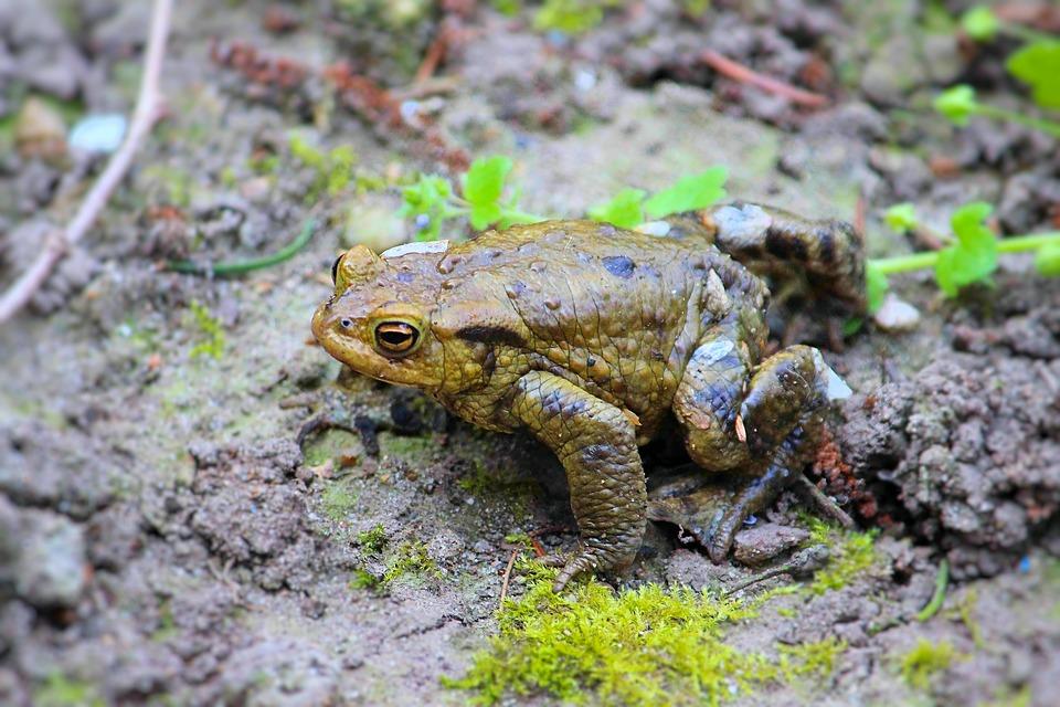 Жаба земляная. образ жизни и среда обитания земляной жабы | животный мир