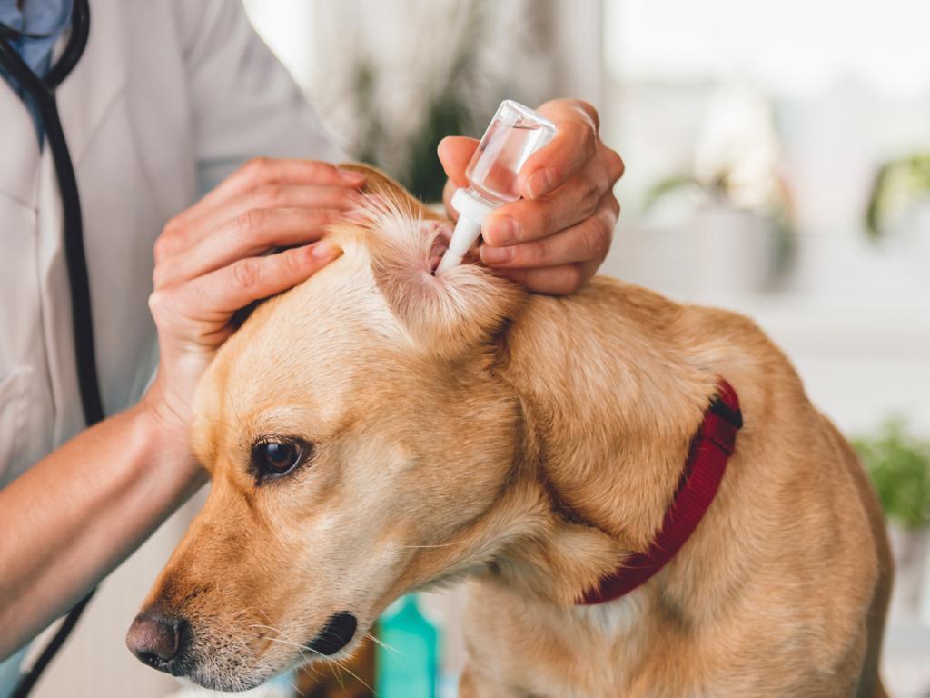 Какими средствами чистить уши собаке в домашних условиях