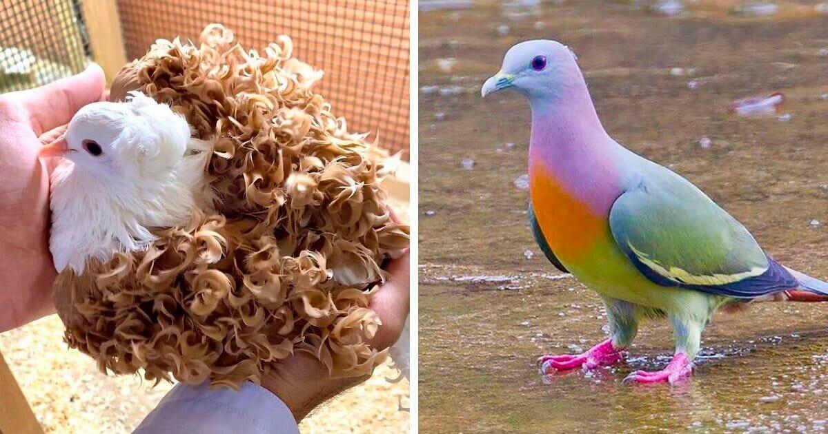 Описания 50 пород голубей и сколько видов существует в мире