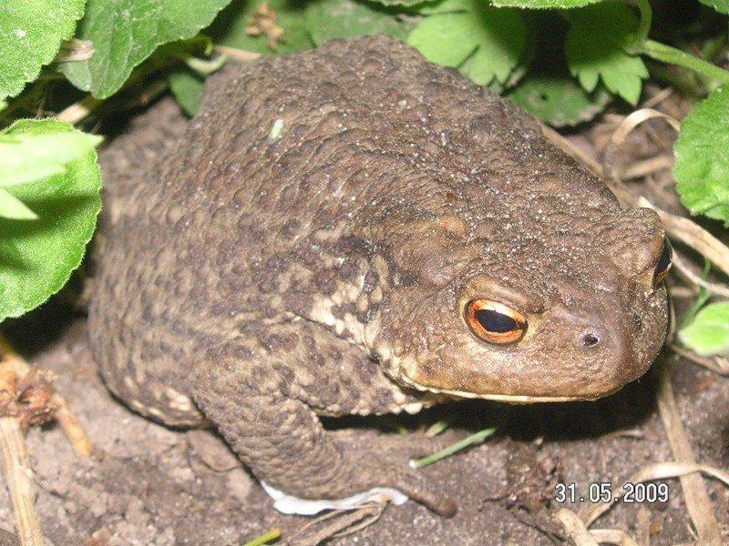 Описание камышовой жабы из красной книги