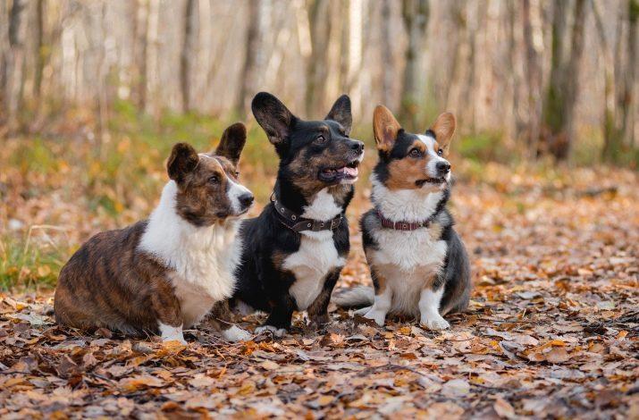 Описание породы собак вельш-корги