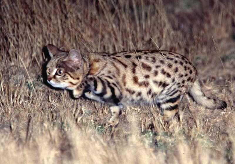 Африканскиепороды кошек