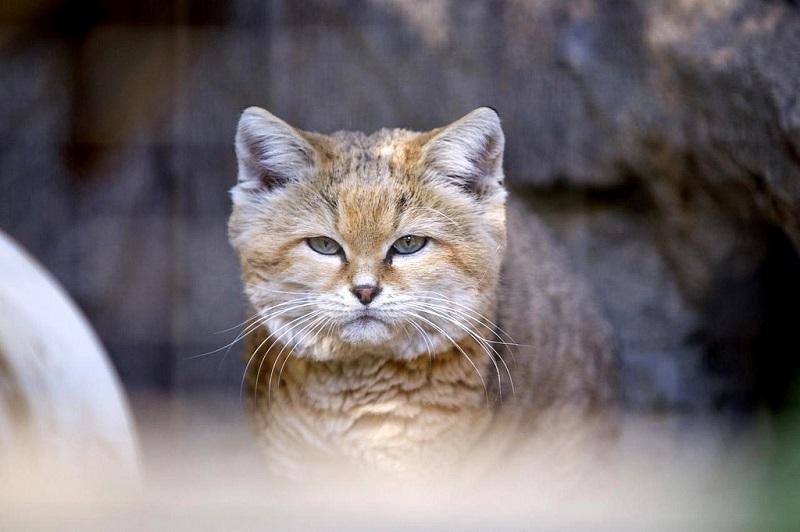 Почему так популярен барханный кот, и как за ним ухаживать - мир кошек