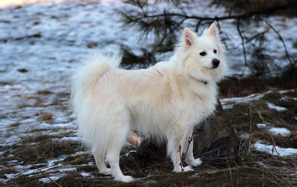 Американский эскимосский шпиц: цена, фото и описание собаки, содержание и уход