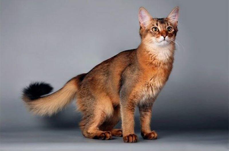 Сомалийская кошка: в оттенках африканского заката сомалийская кошка в породы