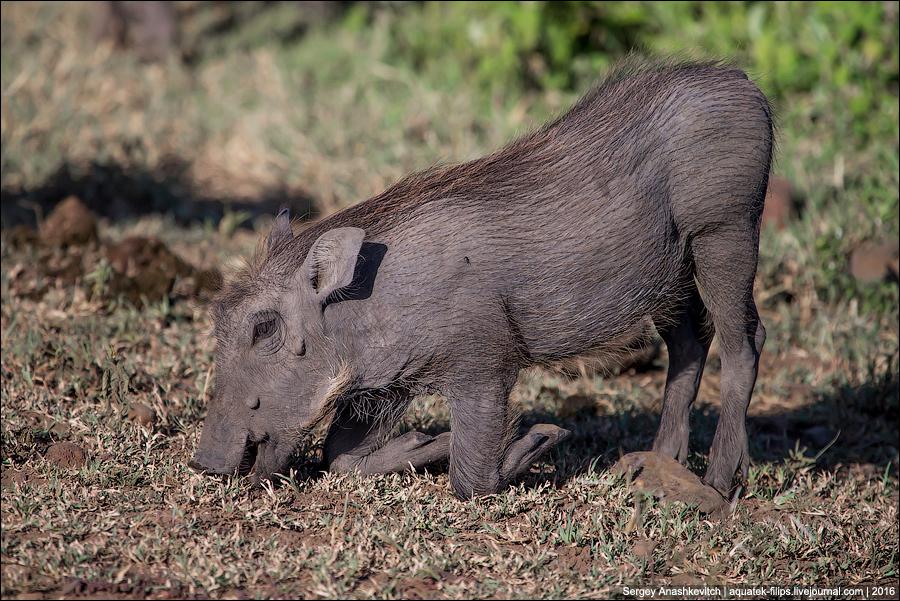 Породы свиней: бабирусса, лесная, бородавочник, кабан, бородатая, яванская | zoodom