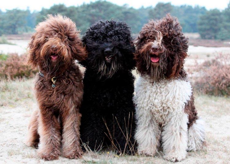 Порода собаки барбет французский