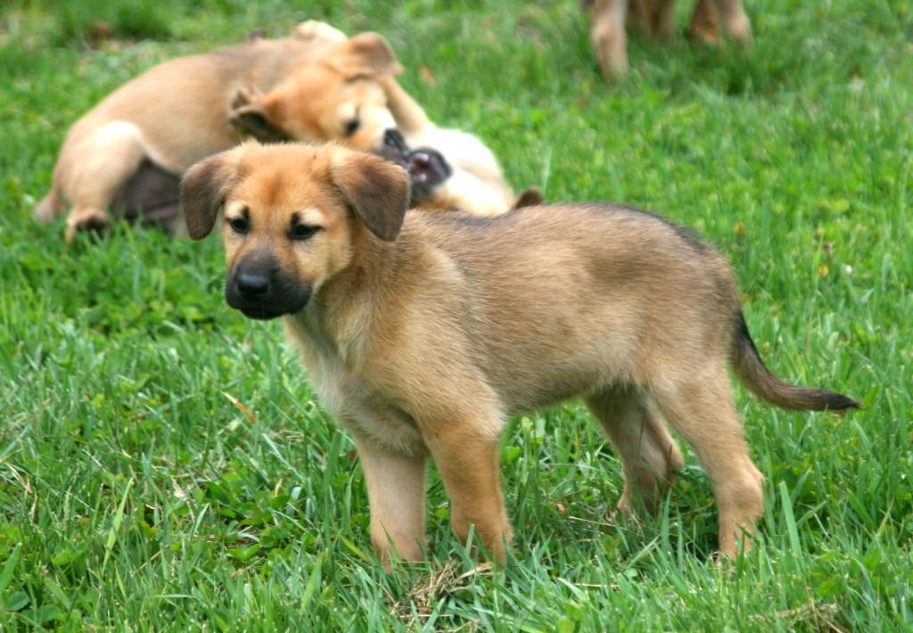 Чавыч (собака) - chinook (dog)