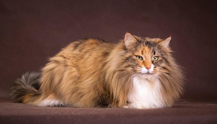 Норвежская лесная кошка: описание породы, характер, фото