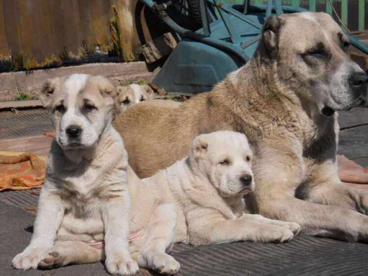 Алабай (88 фото): характеристика породы среднеазиатской овчарки, особенности ухода за щенками и взрослыми собаками, отзывы владельцев