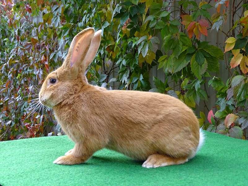 Бургундский кролик: характеристики породы, правила ухода и кормления